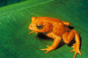 Sixth Mass Extinction-Pic of Extinct Frog